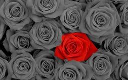 Rote Rose zwischen schwarzen Rosen lizenzfreie stockbilder