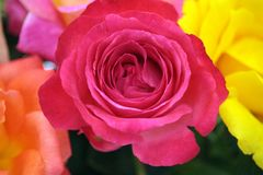 Rote Roseblüten lizenzfreie stockfotografie