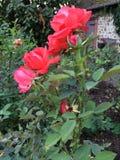 Rote rote Rosen stockbild