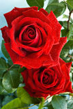 Rote Rosen Lizenzfreie Stockbilder