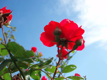 Rote Rosen Stockbilder
