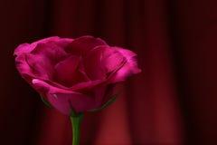 Rote Rosen. Lizenzfreie Stockfotos
