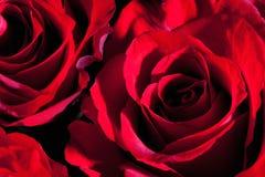 Rote Rosen, Abschluss oben Lizenzfreies Stockbild