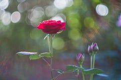 Rote Rosen auf dem Hintergrund bokeh lizenzfreie stockfotos