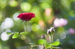 Rote Rosen auf dem Hintergrund bokeh stockbilder