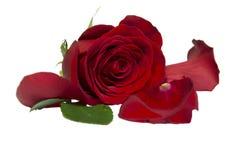 Rote Rosen auf dem lokalisierten weißen Hintergrund Lizenzfreies Stockfoto