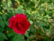 Rote Rosen auf einem Hintergrund von natürlichen Hintergründen in der Weinleseart Lizenzfreies Stockbild