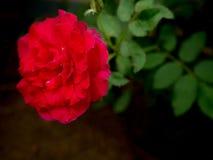 Rote Rosen auf einem Hintergrund von natürlichen Hintergründen in der Weinleseart Stockbilder