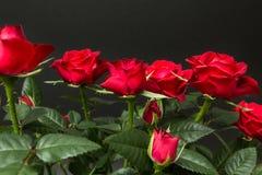 Rote Rosen auf einem schwarzen Hintergrund stockfotografie