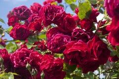 Rote Rosen auf einem Strauch stockbilder