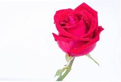 Rote Rosen auf einem weißen Hintergrund Lizenzfreie Stockfotografie