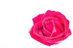 Rote Rosen auf einem weißen Hintergrund Stockbilder