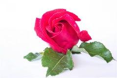 Rote Rosen auf einem weißen Hintergrund Lizenzfreies Stockfoto
