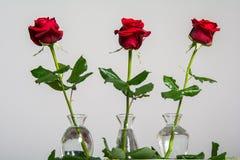 Rote Rosen auf leerem Hintergrund Stockbilder