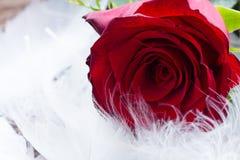 Rote Rosen auf Samt Lizenzfreie Stockfotos