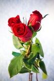 Rote Rosen auf Schnee. Stockbild