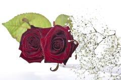 Rote Rosen auf weißem Hintergrund Lizenzfreie Stockfotos