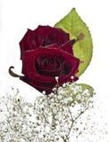 Rote Rosen auf weißem Hintergrund Stockfoto