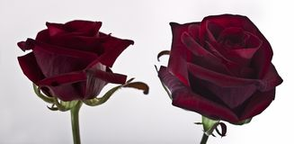 Rote Rosen auf weißem Hintergrund Stockbild