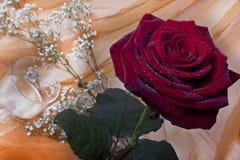 Rote Rosen auf weißem Hintergrund Stockfotografie