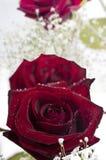 Rote Rosen auf weißem Hintergrund Lizenzfreies Stockfoto