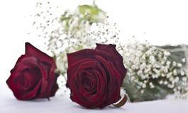 Rote Rosen auf weißem Hintergrund Stockbilder