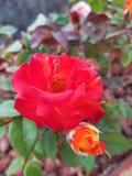 rote Rosen-Blume in einem Topf lizenzfreies stockbild