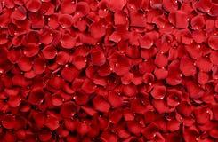 Rote Rosen-Blumenblatt-Hintergrund Stockbild
