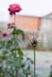 Rote Rosen der Knospe bedeckt mit Frost stockbild