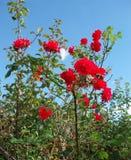 Rote Rosen in der wilden Natur Lizenzfreies Stockfoto