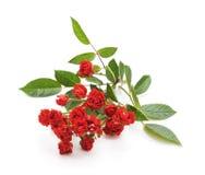 Rote Rosen des Blumenstraußes Lizenzfreies Stockbild