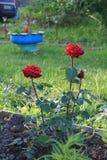 Rote Rosen des Gartens Stockfotos