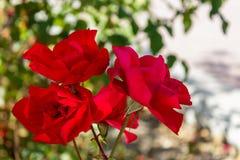 Rote Rosen, die auf einem Strauch wachsen lizenzfreie stockbilder