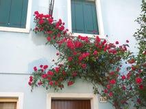 Rote Rosen, die blaues Gebäude in Italien klettern stockfotografie