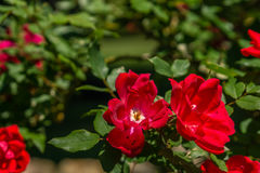Rote Rosen, die im Frühjahr Zeit blühen Lizenzfreie Stockfotografie
