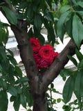Rote Rosen in einem Baum Stockfotos