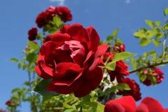 Rote Rosen in einem blauen Himmel Stockfotografie