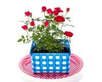 Rote Rosen in einem Blumenpotentiometer Stockfotos
