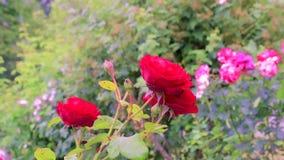 Rote Rosen in einem Garten stock video footage