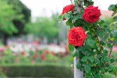 Rote Rosen in einem Garten Lizenzfreie Stockbilder
