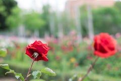 Rote Rosen in einem Garten Lizenzfreie Stockfotografie