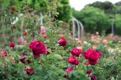 Rote Rosen in einem Garten Lizenzfreie Stockfotos