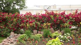 Rote Rosen in einem Garten, Schwenk von schönen Blumen stock video