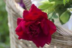 Rote Rosen in einem Korb Stockfotos