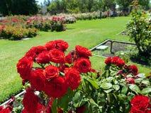 Rote Rosen in einem natürlichen Blumenstrauß Lizenzfreie Stockfotografie