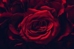 Rote Rosen in einer Nahaufnahme lizenzfreie stockbilder