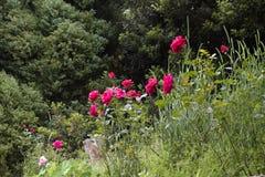 Rote Rosen in einer Wiese Stockfotos
