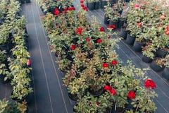 Rote Rosen eingemacht in den Blumentöpfen im Gewächshaus Stockbild