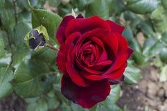 Rote Rosen für Liebhaber, Rosen, Rosen für den Tag der Liebe, die wunderbarsten natürlichen Rosen passend für Webdesign, Liebessy Stockfotografie