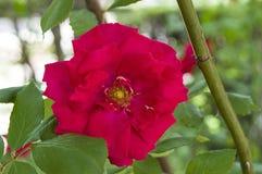 Rote Rosen für Liebhaber, Rosen, Rosen für den Tag der Liebe, die wunderbarsten natürlichen Rosen passend für Webdesign, Liebessy Stockbild